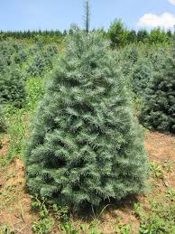 fresh cut christmas trees delivered christmas trees