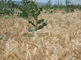 programs natural resources weeds and it u0027s not too late for post wheat weed control cropwatch