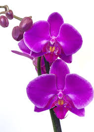 moth orchid free images blossom flower purple petal bloom tropical