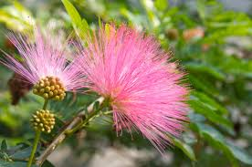 pink flower tree 9 best flowering trees in bloom pro