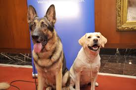 akc announces the most popular dog breed in u s 98 7fm u0026 am1340