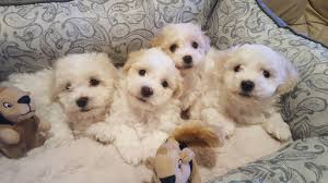 bichon frise kentucky view ad bichon frise puppy for sale washington snohomish usa