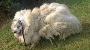great pyrenees rescue provides wonderful dogs to good homes neglected 7 year old great pyrenees gets rescued from barn and an
