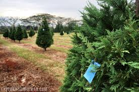 christmas tree hunting in hawaii at helemano farms exploration