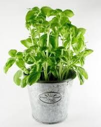 basilico in vaso malattie piantare basilico coltivare basilico coltivare l orto