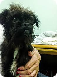 affenpinscher brussels griffon rescue twiggy lawson adopted dog jersey city nj affenpinscher