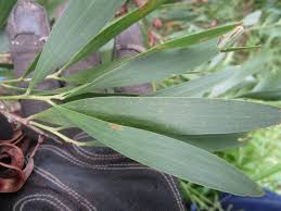 australis plants australian native plants acacia id please australian native plants the corroboree