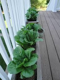deck vegetable garden is looking good u2013 my northern garden