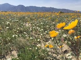 Anza Borrego Wildflowers Super Bloom by Mary Jolley On Twitter