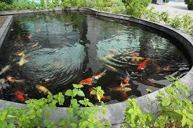 file koi pond in must jpg wikimedia commons