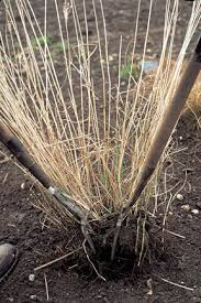 ornamental grasses dividing rhs gardening