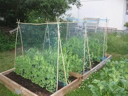 peas and nitrogen gardens allotment and garden ideas