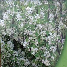 ornamental trees poplar nurseries garden centre marks tey