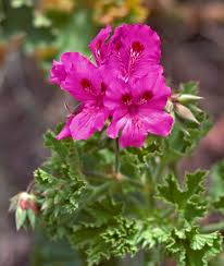 google images flower flowers and plants saudi arabia not so hairy jerry