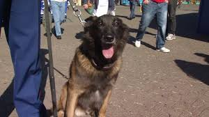 belgian shepherd houston beloved marine k 9 retiring after years of service abc7news com