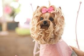 pictures of yorkie haircuts royalty free yorkie haircuts pictures images and stock photos