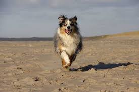 australian shepherd kid friendly australian shepherd dog breed information