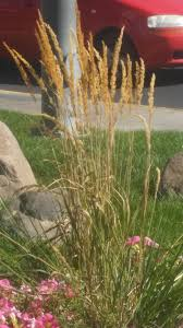 ornamental grass id ask an expert