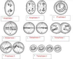 meiosis name the phases key