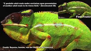 combat causes chameleon u0027s color change time lapse video youtube