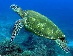 imagenes tortugas verdes tortuga verde sgf