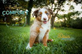 3 winds ranch australian shepherd australian shepherd red merle toy australian shepherd puppy