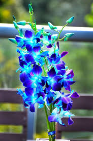 blue and purple orchids best 25 blue orchids ideas on blue orchid wedding blue