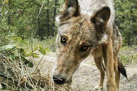 Washington wildlife images Washington welcomes wolves back across deep political divides