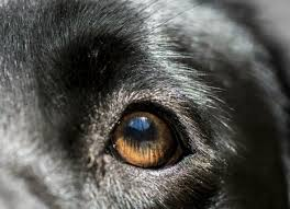 Blind Dog Eye Discharge Eye Inflammation Anterior Uveitis In Dogs Petmd