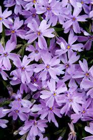 flowers garden city 71 best perennials ground cover images on pinterest gardening