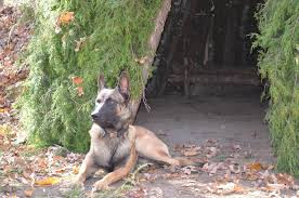 belgian shepherd special forces police military dogs for sale survival
