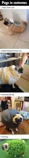 best 25 pugs in costume ideas only on pinterest pug costume