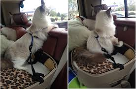 how to travel with a cat images Tips for traveling on long road trips with cats png