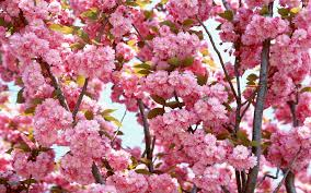 cherry blossom wallpaper free download download awesome