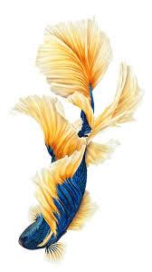 pin by 喵喵 on 墙纸 pinterest betta wallpaper and betta fish