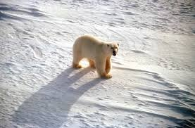 polar bears starving death climate change