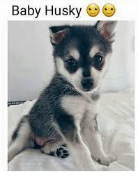 Funny Husky Memes - 25 best memes about baby huskies baby huskies memes