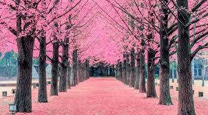 the beaches is getting its own cherry blossom tree tunnel