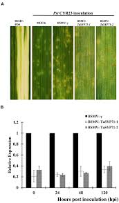 frontiers tasyp71 a qc snare contributes to wheat resistance