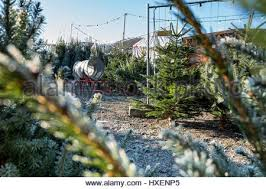 frost on conifer christmas trees awaiting sale in garden centre