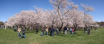 cherry blossom tree facts 31 facts about the cherry blossom festival