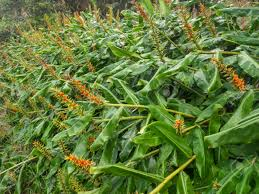 plant native kahili ginger hedychium gardnerianum is a plant native to the