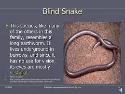 Madagascar Blind Snake Snakes