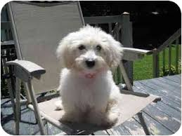 6 month old bichon frise for sale salem nh bichon frise meet ginny a dog for adoption