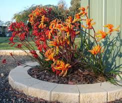 amber velvet anigozanthos hybrid amber velvet pbr new frost