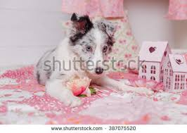 australian shepherd 3 months old against dogs isolated three white stock images royalty free