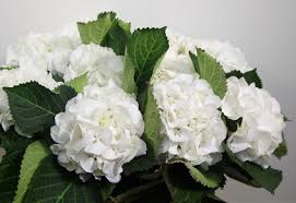hydrangea white colors of hydrangeas flirty fleurs the florist