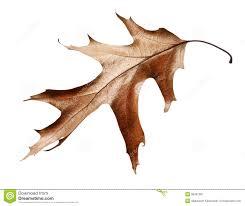 White Oak Leaf Dead Oak Leaf Isolated Royalty Free Stock Photo Image 12016395