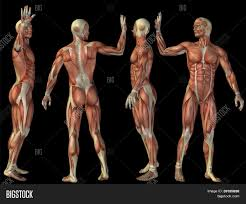 Anatomy Human Abdomen Dog 3d Anatomy Choice Image Learn Human Anatomy Image