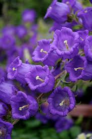 pacific horticulture society bellflowers